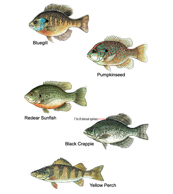 Image result for PAN FISH